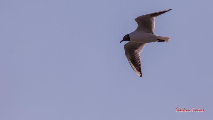 Vol de mouette rieuse, réserve ornithologique du Teich. Samedi 3 avril 2021. Photographie © Christian Coulais
