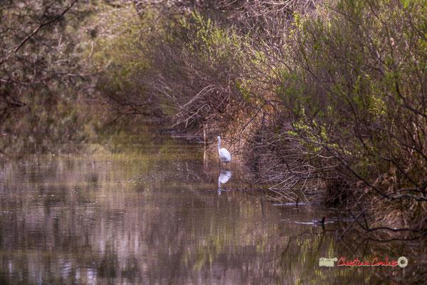 Spatule blanche, réserve ornithologique du Teich, samedi 16 mars 2019. Photographie © Christian Coulais