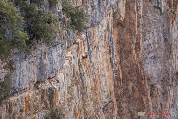 6/9 Vautour fauve en vol d'approche de son nid / Buitre beonado que se acerca al nido, Foz de Arbaiun, Navarra