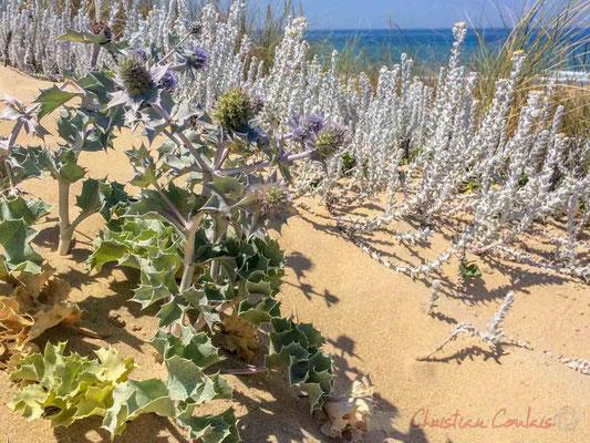 Panicaut de mer, Chardon des dunes, Chardon bleu, Panicaut des dunes, Eryngium maritimum