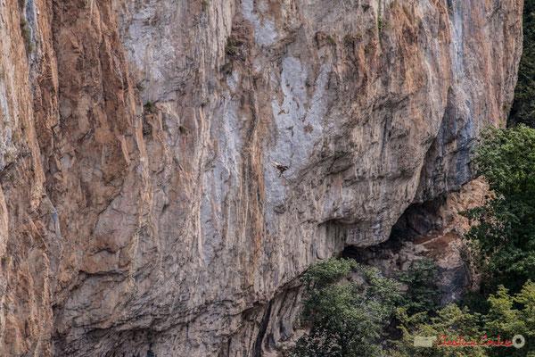 1/9 Vautour fauve en vol d'approche de son nid / Buitre beonado que se acerca al nido, Foz de Arbaiun, Navarra