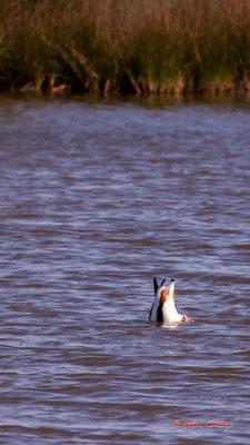 Tadorne de Belon en plongée. Réserve ornithologique du Teich. Samedi 3 avril 2021. Photographie © Christian Coulais