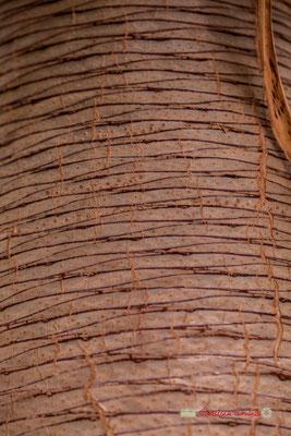 Dragonnier des Îles Canaries. Genre : Dracaena; Espèce : Draco; Famille : Liliaceae; Ordre : Liliales. Serre tropicale du Bourgailh, Pessac. 27 mai 2019