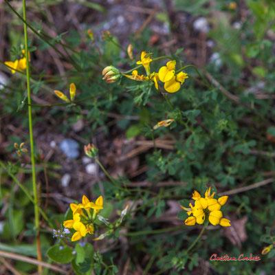 Lotier commmun (Lotus corniculatus). Forêt de Migelan, espace naturel sensible, Martillac / Saucats / la Brède. Vendredi 22 mai 2020. Photographie : Christian Coulais