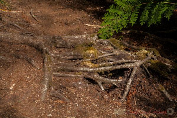 Ou les racines de ce chêne s'entrevêchent en descendant vers l'étang de Cousseau...