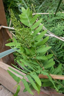 L'osmonde royale ne cache pas ses spores en dessous des feuilles mais les présente en bout de tige. Lagune de Contaut, Hourtin