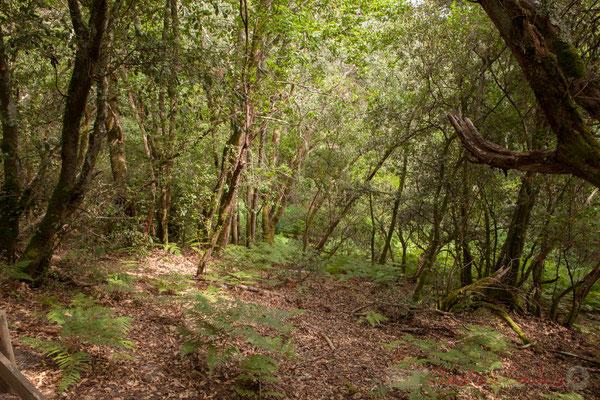 Sous-bois constitué de différentes fougères, arbousiers, chênes verts ou pédonculés...Étang de Cousseau