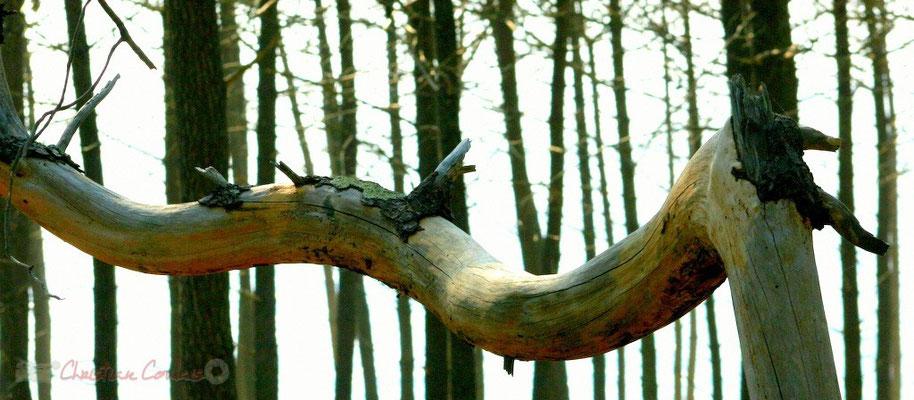 Branche morte, pin maritime. Petit-Nice de Pyla-sur-Mer, route de Biscarrosse, forêt domaniale de La Teste-de-Buch