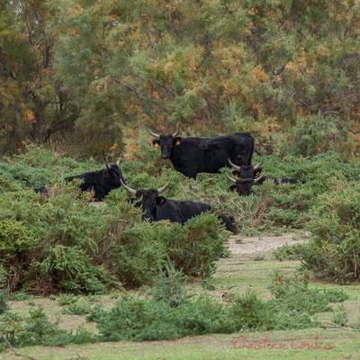 Le taureau Camargue est un animal de robe foncée, généralement noire, quelquefois brun foncé. Sa taille dépasse rarement 1,30 m pour les mâles et 1,20 m pour les femelles.