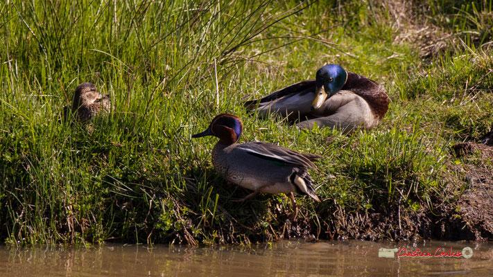 Sarcelle de la Caroline, canard colvert. Réserve ornithologique du Teich. Samedi 16 mars 2019