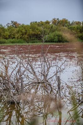 Paysage de sansouire (salicorne, soude, obione...). Réserve naturelle régionale de Scamandre, Vauvert