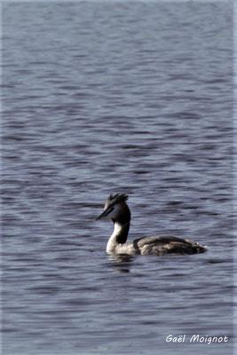 Grèbe huppé. Réserve ornithologique du Teich. Photographie Gaël Moignot. Samedi 16 mars 2019