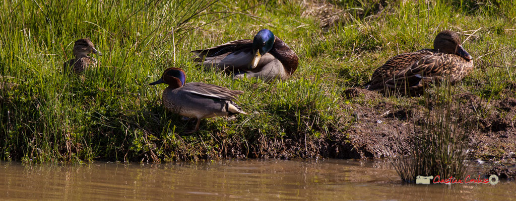 Couple de sarcelles de la Caroline et couple de canards colverts. Réserve ornithologique du Teich. Samedi 16 mars 2019