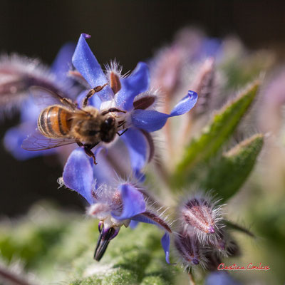 Abeille butinant une fleur de bourrache. Vendredi 27 mars 2020