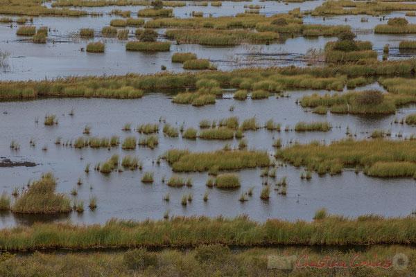 Une quarantaine de vaches transhument librement entre zones humides et cordon dunaire...Étang de Cousseau