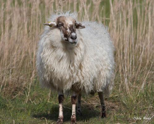Mouton. Réserve ornithologique du Teich. Photographie Odile Roux. Samedi 16 mars 2019
