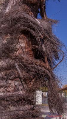 Détail de l'écorce fibreuse du palmier de la Villa Argentina, avenue de la République, Cénac, Gironde. 16/10/2017