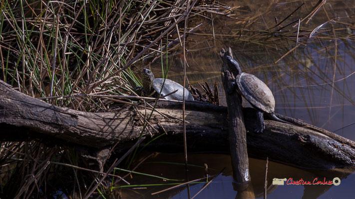Deux cistudes d'Europe, réserve ornithologique du Teich. Samedi 16 mars 2019. Photographie © Christian Coulais