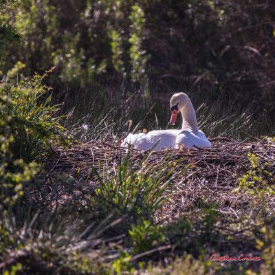 Cygne tuberculé ou muet sur son nid, réserve ornithologique du Teich, samedi 3 avril 2021. Photographie © Christian Coulais