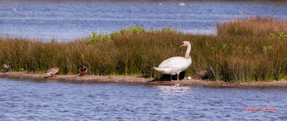Couple de canards colverts, cygne tuberculé à l'œuf, réserve ornithologique du Teich, samedi 3 avril 2021. Photographie © Christian Coulais