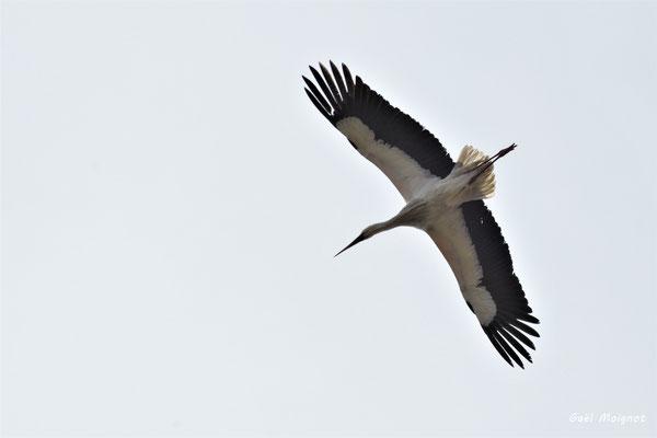 Vol de cigogne blanche. Réserve ornithologique du Teich. Photographie Gaël Moignot. Samedi 16 mars 2019