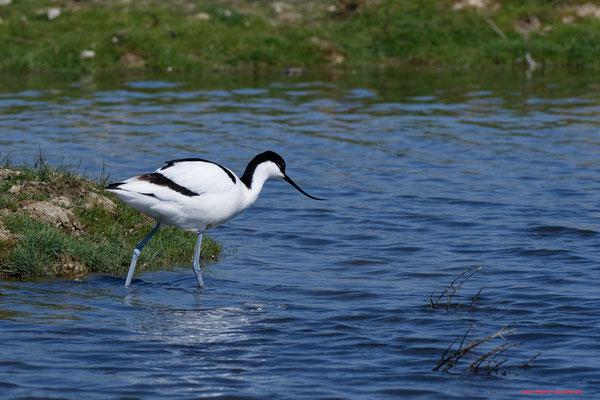 Avocette élégante. Réserve ornithologique du Teich. Photographie Jean-Pierre Couthouis. Samedi 3 avril 2021