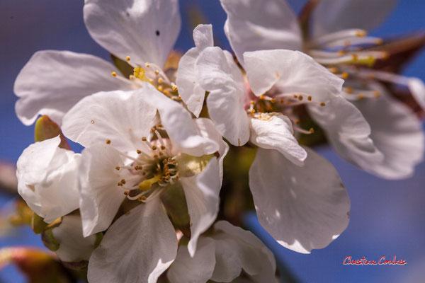 Cerisier. Samedi 21 mars 2020