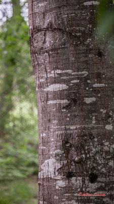 1/2 Tronc et écorce de chêne rouge d'Amérique (Quercus rubra). Forêt de Migelan, espace naturel sensible, Martillac / Saucats / la Brède. Samedi 23 mai 2020. Photographie : Christian Coulais