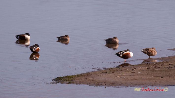 Canards Souchets, réserve ornithologique du Teich. Samedi 16 mars 2019