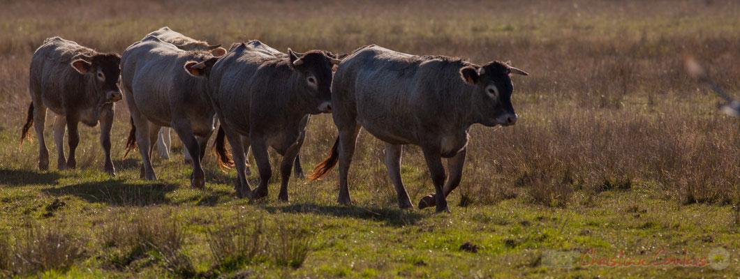 Retour vers l'étable de ce troupeau de vaches du Domaine de Graveyron, Audenge, espace naturel sensible de Gironde
