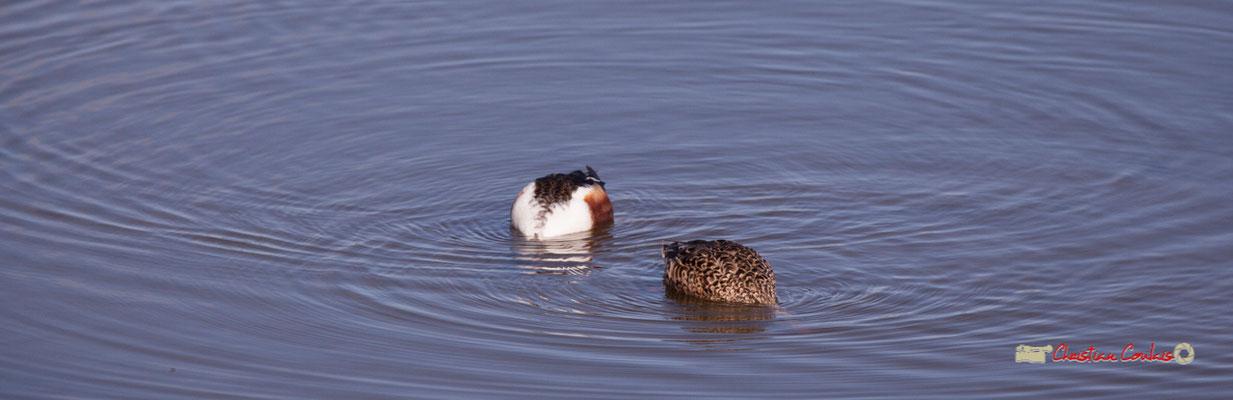 Canard souchet et sa femelle, réserve ornithologique du Teich. Samedi 16 mars 2019
