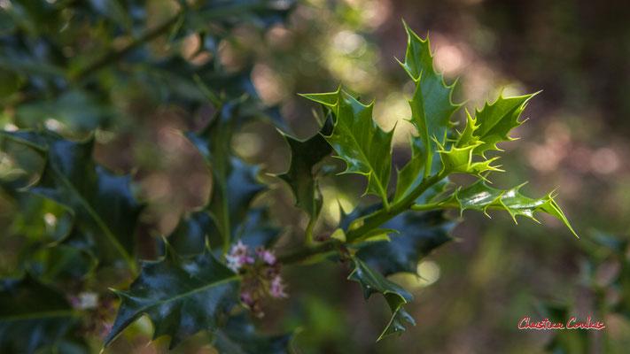 1/2 Houx en fleur. Forêt de Migelan, espace naturel sensible, Martillac / Saucats / la Brède. Vendredi 22 mai 2020. Photographie : Christian Coulais