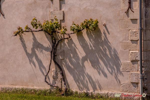 Treille de vigne le long d'un mur. Village Sans-Pain, Île Nouvelle, Gironde. 06/05/2018