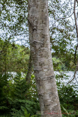 Bouleau pubescent. Hourtin, Lagune de Contaut, Espace Naturel Sensible de Gironde