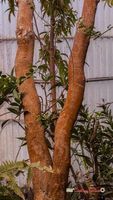 Arbre à fleurs d'orchidées, Inde / Birmannie. Genre : Bauhinia; Espèce : Variegata; Famille : Fabaceae; Ordre : Fabales. Serre tropicale du Bourgailh, Pessac. 27 mai 2019