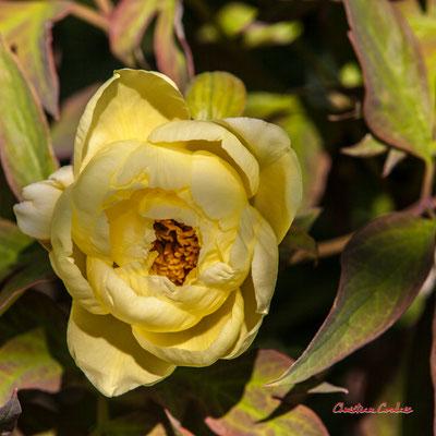 Pivoine arbustive D. Samedi 11 avril 2020 13h14, Cénac. Photographie : Christian Coulais