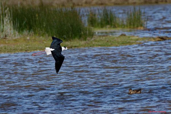 Echasse blanche. Réserve ornithologique du Teich. Photographie Jean-Pierre Couthouis. Samedi 3 avril 2021