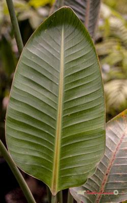 """Oiseau du Paradis"" Afrique du Sud. Genre : Strelitzia; Espèce : Nicolai; Famille : Strelitziaceae; Ordre : Zingiberales. Serre tropicale du Bourgailh, Pessac. 27 mai 2019"