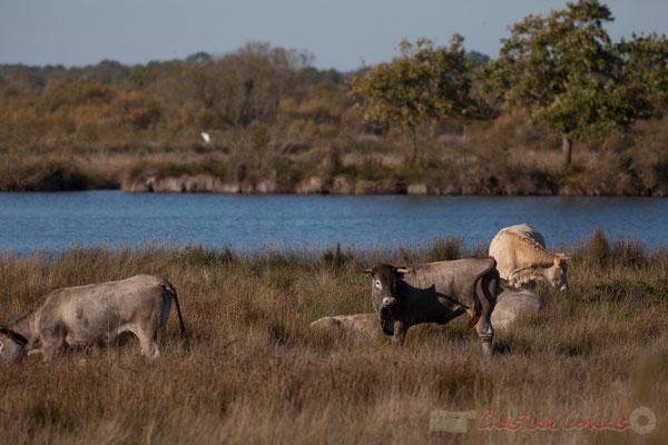 Troupeau de vaches. Domaine de Graveyron, Audenge, espace naturel sensible de Gironde