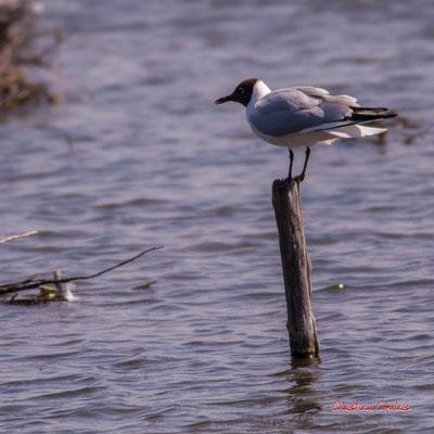 Mouettes rieuses et leur nid, réserve ornithologique du Teich. Samedi 3 avril 2021. Photographie © Christian Coulais