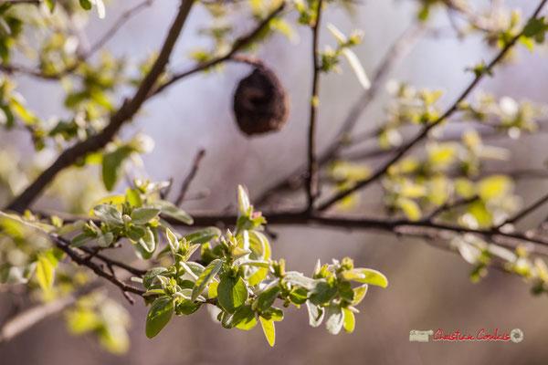Feuilles de cognassier, réserve ornithologique du Teich. Samedi 16 mars 2019. Photographie © Christian Coulais