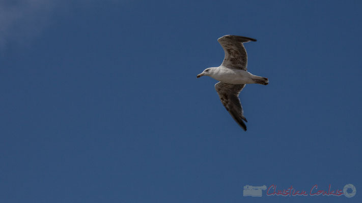 Vol de goéland argenté. Jetée de la Garenne, Saint-Gilles-Croix-de-Vie, Vendée, Pays de la Loire