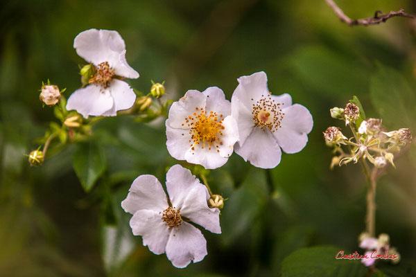Fleurs d'églantier. Forêt de Migelan, espace naturel sensible, Martillac / Saucats / la Brède. Samedi 23 mai 2020. Photographie : Christian Coulais