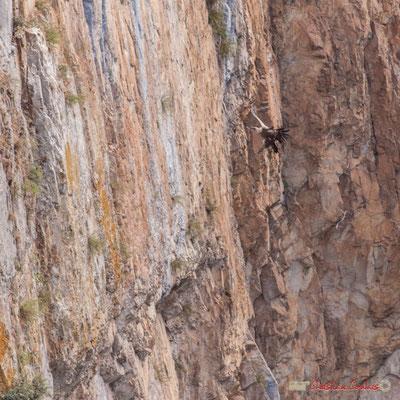 3/9 détail Vautour fauve en vol d'approche de son nid / Buitre beonado que se acerca al nido, Foz de Arbaiun, Navarra