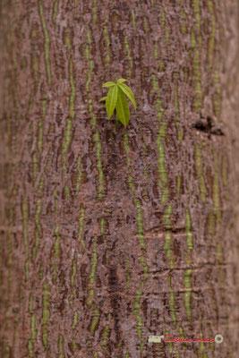 Fromager, Amérique du Sud. Genre : Ceiba; Espèce : Pentandra; Famille : Bombacaceae; Ordre : Malvales. Serre tropicale du Bourgailh, Pessac. 27 mai 2019