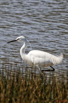 Aigrette garzette. Réserve ornithologique du Teich. Photographie Jean-Pierre Couthouis. Samedi 3 avril 2021