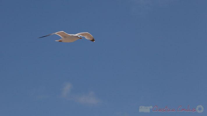 Vol de goéland argenté, Promenade Marie Tsvetaieva, Saint-Gilles-Croix-de-Vie, Vendée, Pays de la Loire