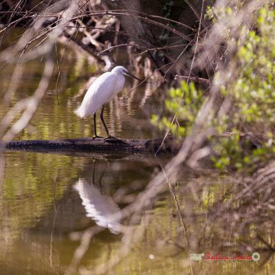 Aigrette garzette, réserve ornithologique du Teich. Samedi 16 mars 2019. Photographie © Christian Coulais