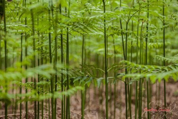 1/3 Fougères. Forêt de Migelan, espace naturel sensible, Martillac / Saucats / la Brède. Samedi 23 mai 2020. Photographie : Christian Coulais