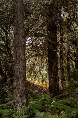 Les plantations de pins maritimes au XIXème siècle ont contribué à disloquer cette vaste plaine liquide...Étang de Cousseau